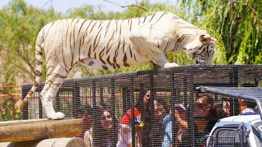 Muere trabajadora de zoológico en Chile tras ser atacada por un tigre