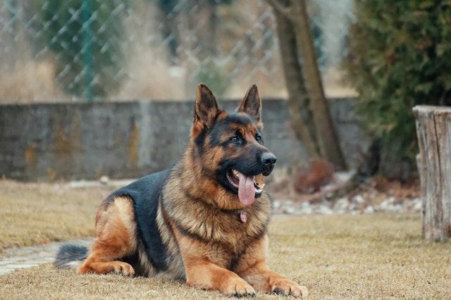 Denuncian que EUA abandonó a decenas de perros en Afganistán. Foto de Adam Kontor en Pexels
