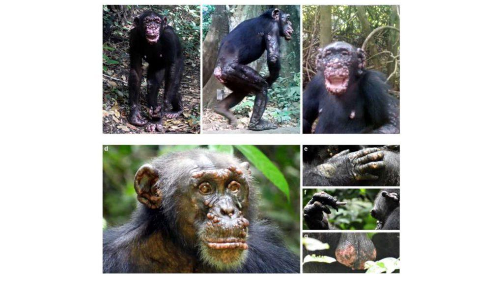 Descubren casos de lepra en chimpancés por primera vez en la historia. Imágenes: Tai Chimpanzee Project