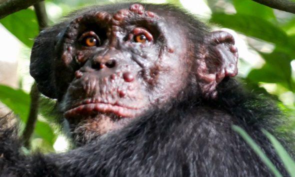 Descubren casos de lepra en chimpancés por primera vez en la historia. Imágen: Tai Chimpanzee Project